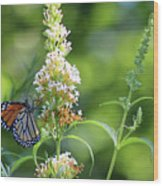 Monarch On White Butterfly Bush Wood Print