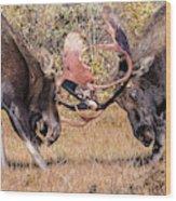 Moose Bulls Spar Close Up Wood Print