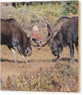 Moose Bulls Spar In The Colorado High Country Wood Print