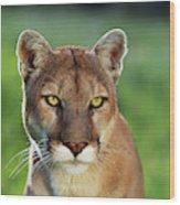 Mountain Lion Felis Concolor, Portrait Wood Print