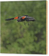 Mr. Red-winged Blackbird In-flight Wood Print