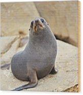 New Zealand Fur Seal, Arctocephalus Wood Print