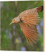 Northern Flicker In Flight Wood Print