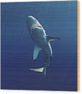 Oceanic Blacktip Shark Wood Print