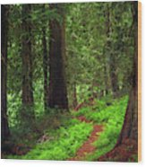 Old Growth Cedars Wood Print
