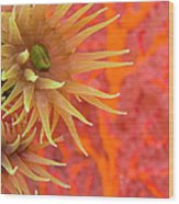 Orange Cup Coral Tubastraea Sp Wood Print