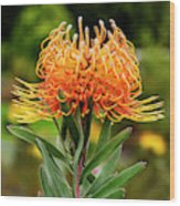 Orange Protea Wood Print