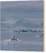 Orca Orcinus Orca, Antarctica Wood Print