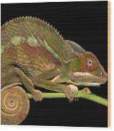 Panther Chameleon Furcifer Pardalis In Wood Print
