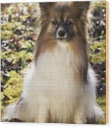 Papillon Sitting In Leaves Wood Print