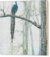 Peacock In Winter Mist Wood Print