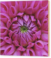Petals Of Pink Dahlia Wood Print