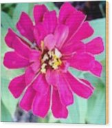 Pink Zinnia With Spider Wood Print