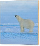 Polar Bear, Dangerous Looking Beast On Wood Print