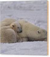 Polar Bear With Cub, Ursus Maritimus Wood Print