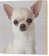 Portrait Of Chihuahua Wood Print