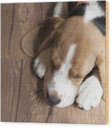 Portrait Of Young Beagle Dog Lying On Wood Print
