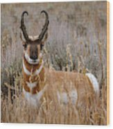 Pronghorn In The Sage Wood Print
