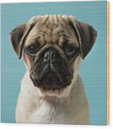 Pug Puppy Against Blue Background Wood Print