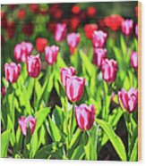 Purple And Red Tulips Under Sun Light Wood Print