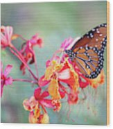 Queen Butterfly On Mexican Bird Of Paradise  Wood Print