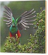 Quetzal Taking Flight Wood Print