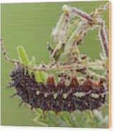 Red Admiral Caterpillar Wood Print