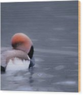 Red Crested Pochard Wood Print