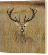 Red Deer Portrait 2 Wood Print