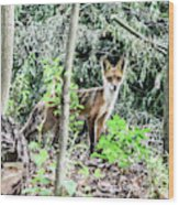 Red Fox In The Woods Wood Print
