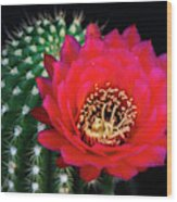 Red Hot Torch Cactus  Wood Print