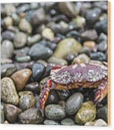 Red Rock Crab On A Pebble Covered Beach Wood Print