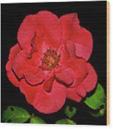 Red Rose With Dewdrops 038 Wood Print