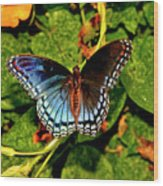 Red-spotted Purple Butterfly 017 Wood Print