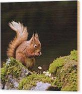 Red Squirrel Eating Nuts Wood Print