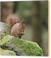 Red Squirrel Sciurus Vulgaris Eating A Seed On A Stone Wall Wood Print