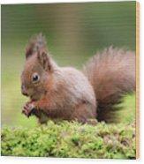 Red Squirrel Sciurus Vulgaris Wood Print