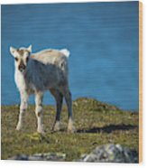 Reindeer Grazing In Spitzbergen Wood Print