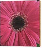 Rhapsody In Pink - Gerbera Daisy Wood Print