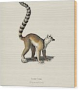 Ring-tailed Lemur  Lemur Catta  Illustrated By Charles Dessalines D' Orbigny  1806-1876  Wood Print