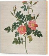 Rosa Rubiginosa Wood Print