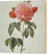 Rose La Duchesse Dorleans Wood Print
