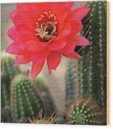 Rose Quartz Cactus Flower  Wood Print