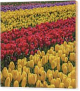 Row After Row After Row Of Tulips Wood Print