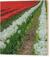 Rows Of White And Red Tulips Wood Print