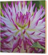 Semicactus Dahlia Wood Print