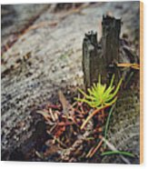 Small Spruce Growing On An Old Tree Stump Wood Print