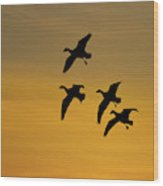 Snow Geese Landing At Sunset Wood Print