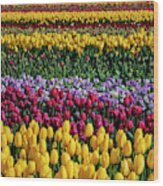 Spectacular Rows Of Colorful Tulips Wood Print