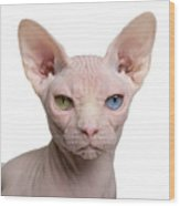 Sphynx Cat, 1 Year Old, In Front Of Wood Print